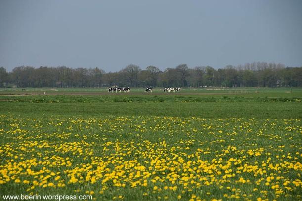 paardenbloemen (2)