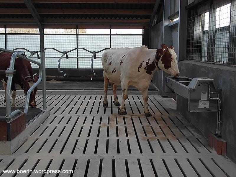 verbouw jongveestal naar melkkoeienstal 2014 (32)